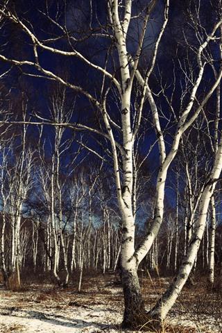 iPhone Wallpaper Birch, trees, twigs, shadow