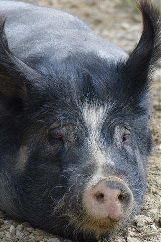 iPhone Wallpaper Black pig, nose