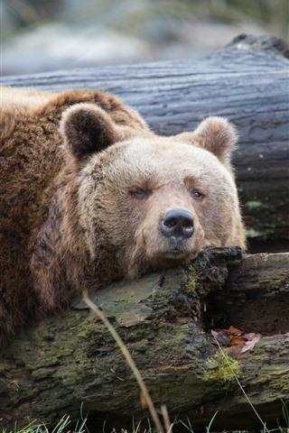 iPhone Wallpaper Brown bear sleep