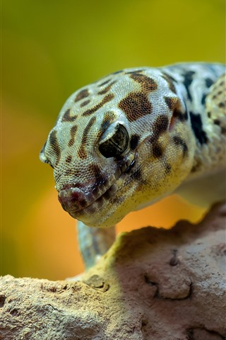 iPhone Wallpaper Gecko, reptile