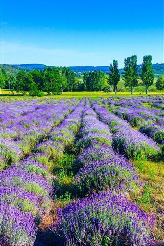 iPhone Wallpaper Lavender, purple flowers, trees, nature landscape