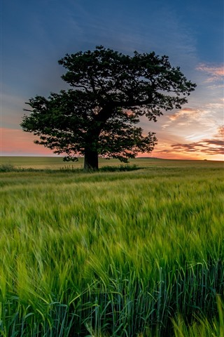 iPhone Wallpaper Lonely tree, green wheat field, sunset
