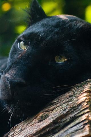 iPhone Wallpaper Panther, predator, rest, yellow eyes