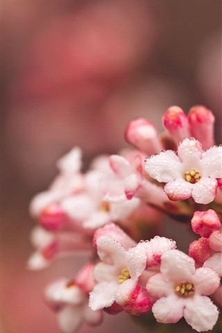 iPhone Wallpaper Pink little flowers, water droplets
