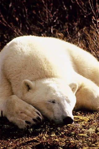 iPhone Wallpaper Polar bear sleeping, sunshine