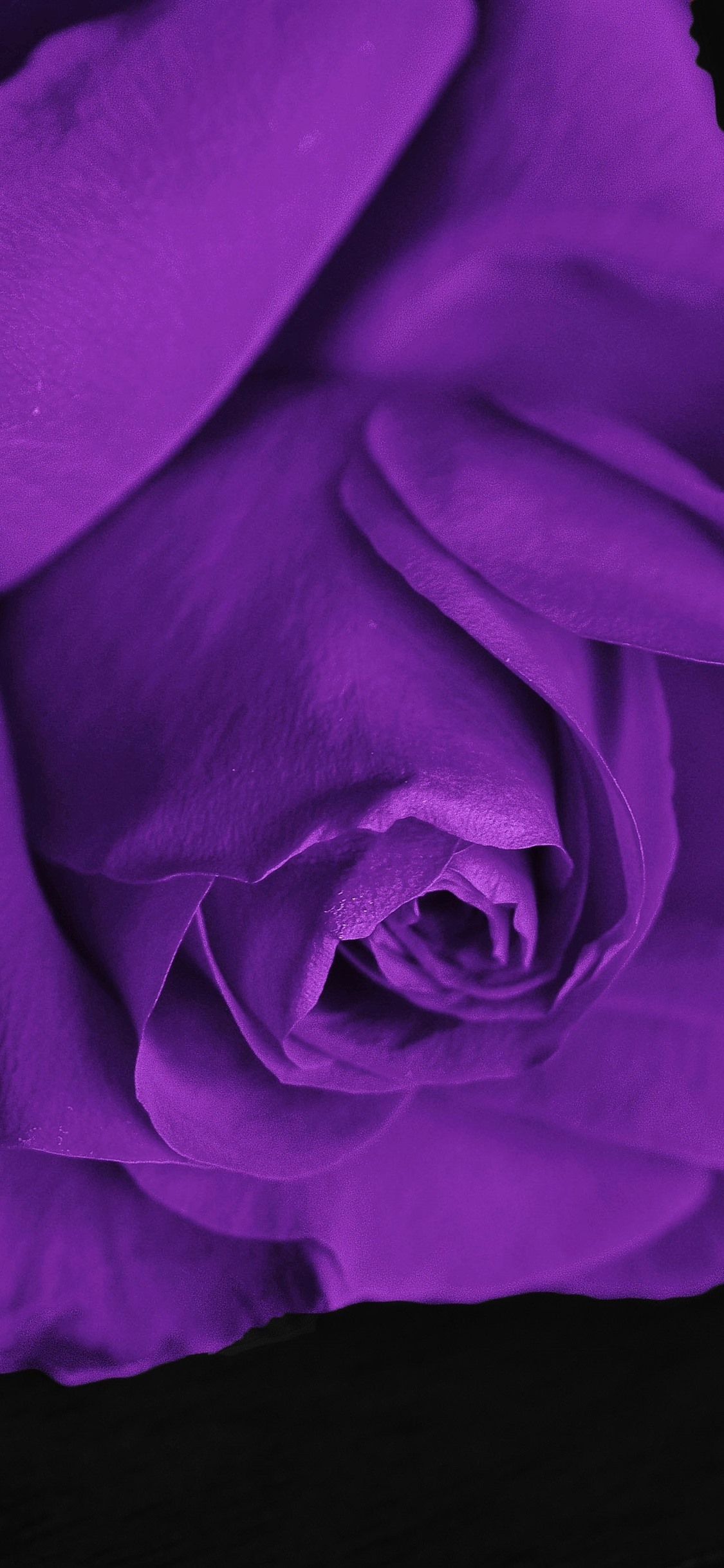 Purple Rose Black Background 1242x2688 Iphone 11 Pro Xs Max Wallpaper Background Picture Image