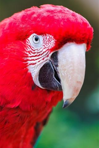 iPhone Wallpaper Red feather parrot, beak, bird