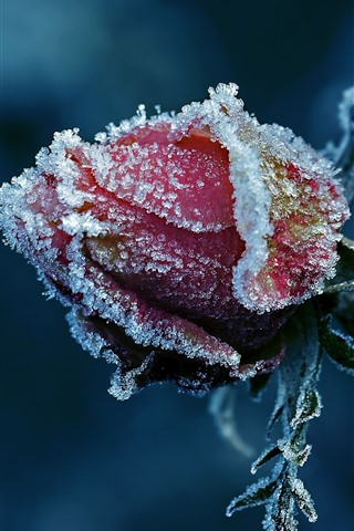 iPhone Wallpaper Red rose, frost, flower bud