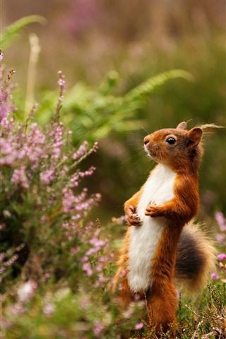 iPhone Wallpaper Squirrel standing, pink flower, spring