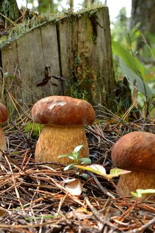 iPhone Wallpaper Three mushrooms, stump, plants