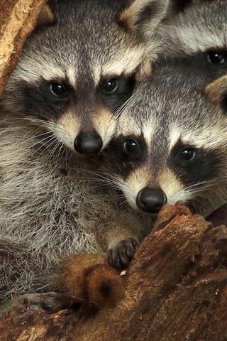 iPhone Wallpaper Three raccoons, hollow tree trunk