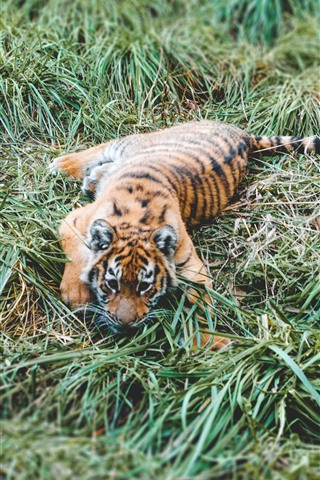 iPhone Wallpaper Tiger cub, grass, rest
