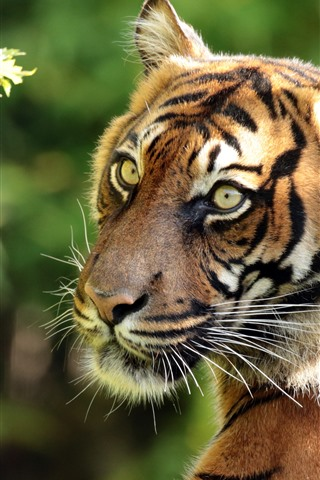 iPhone Wallpaper Tiger look back, face, green eyes