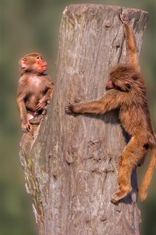iPhone Wallpaper Two monkeys, stump