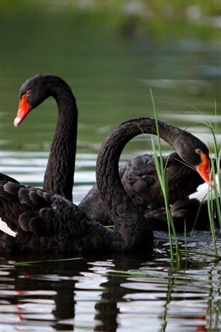 iPhone Wallpaper Black swans, grass, pond