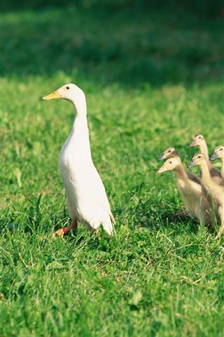 iPhone Wallpaper Duck family, ducklings, grass