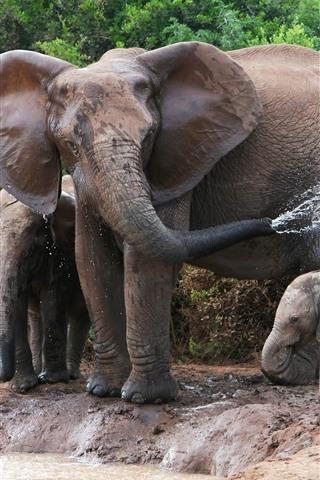 iPhone Wallpaper Elephants, family, water splash