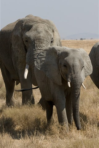 iPhone Wallpaper Elephants, wildlife, grass