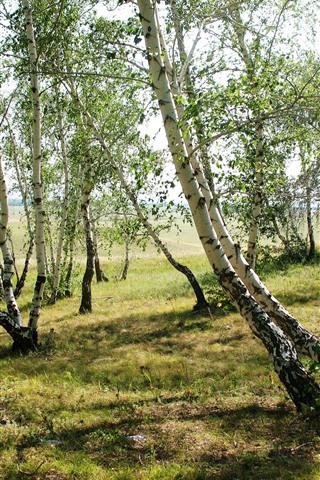iPhone Wallpaper Forest, trees, birch, grass