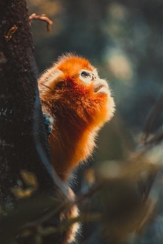 iPhone Wallpaper Golden monkey, tree, look, wildlife