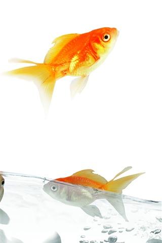 iPhone Wallpaper Goldfish, water, splash, jump, white background