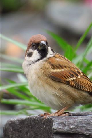 iPhone Wallpaper One bird, sparrow, look