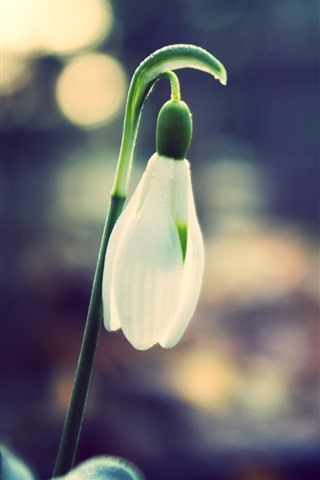iPhone Wallpaper One snowdrops bud