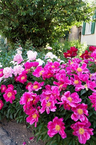 iPhoneの壁紙 ピンクと白の牡丹、花壇、家