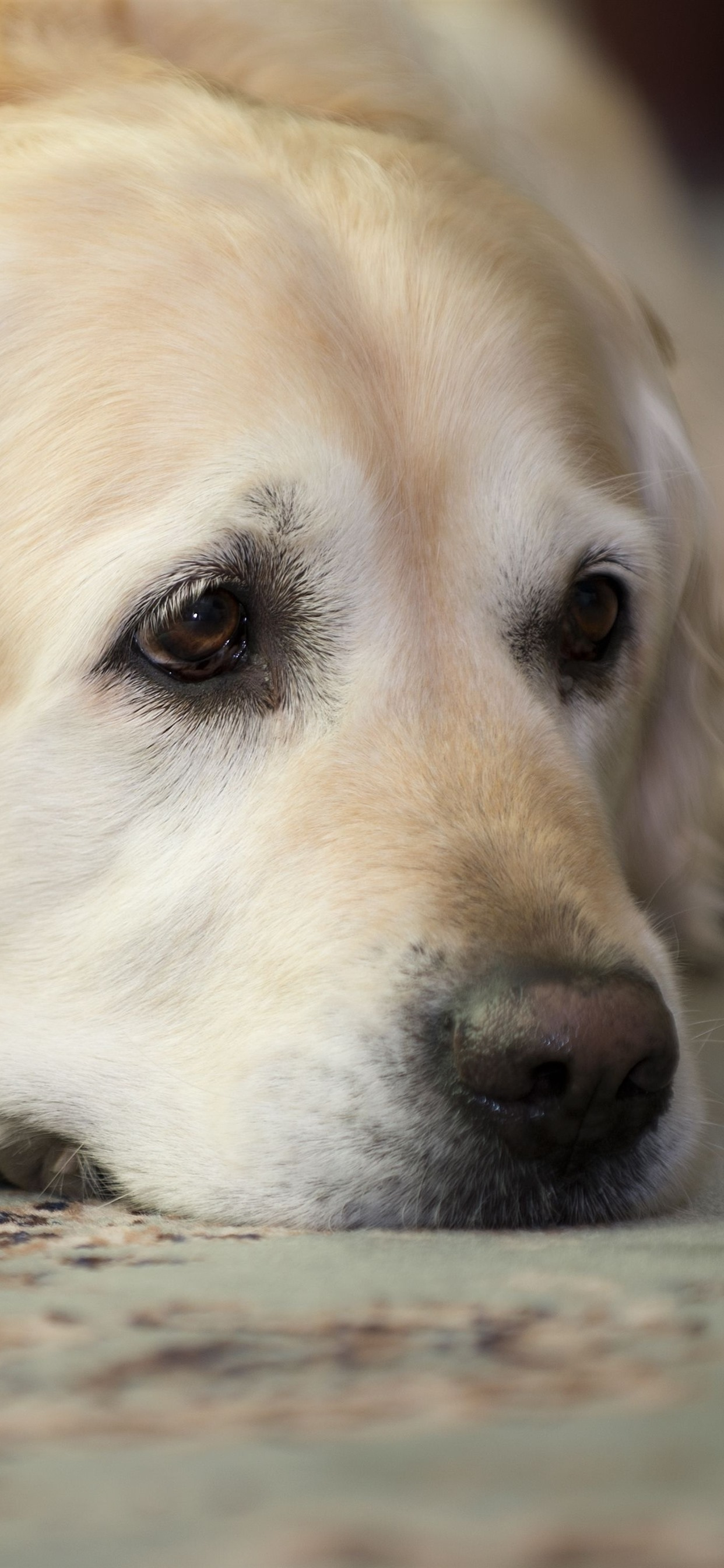 Sadness Golden Retriever 1242x2688 Iphone 11 Pro Xs Max Wallpaper Background Picture Image