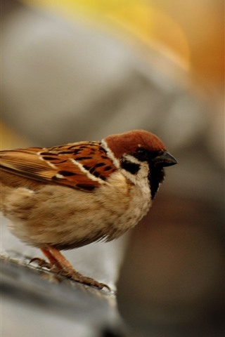 iPhone Wallpaper Sparrow close-up, bird, hazy background