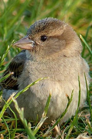 iPhone Wallpaper Sparrow, grass, bird