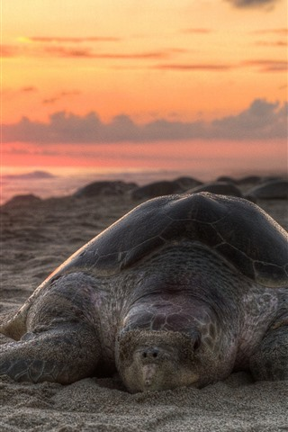 iPhone Wallpaper Turtle, beach, sunset