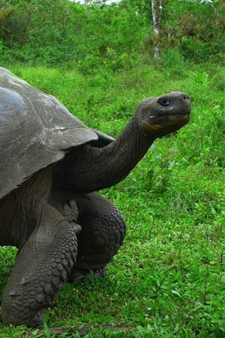 iPhone Wallpaper Turtles, grass, wildlife