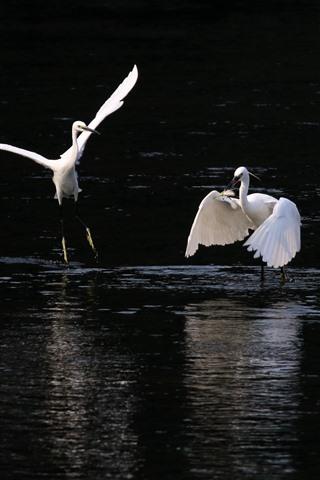 iPhone Wallpaper White heron, hunting fish, lake