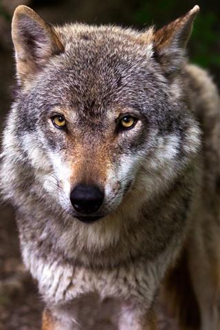 iPhone Wallpaper Wildlife, wolf, look, eyes, front view
