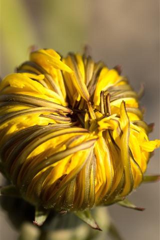 iPhone Wallpaper Yellow dandelion flower bud close-up
