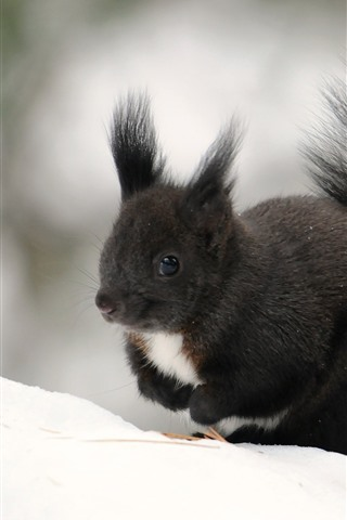 iPhone Wallpaper Black squirrel, winter, snow