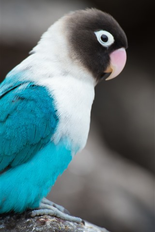 iPhone Wallpaper Blue feather parrot, bird, gray background