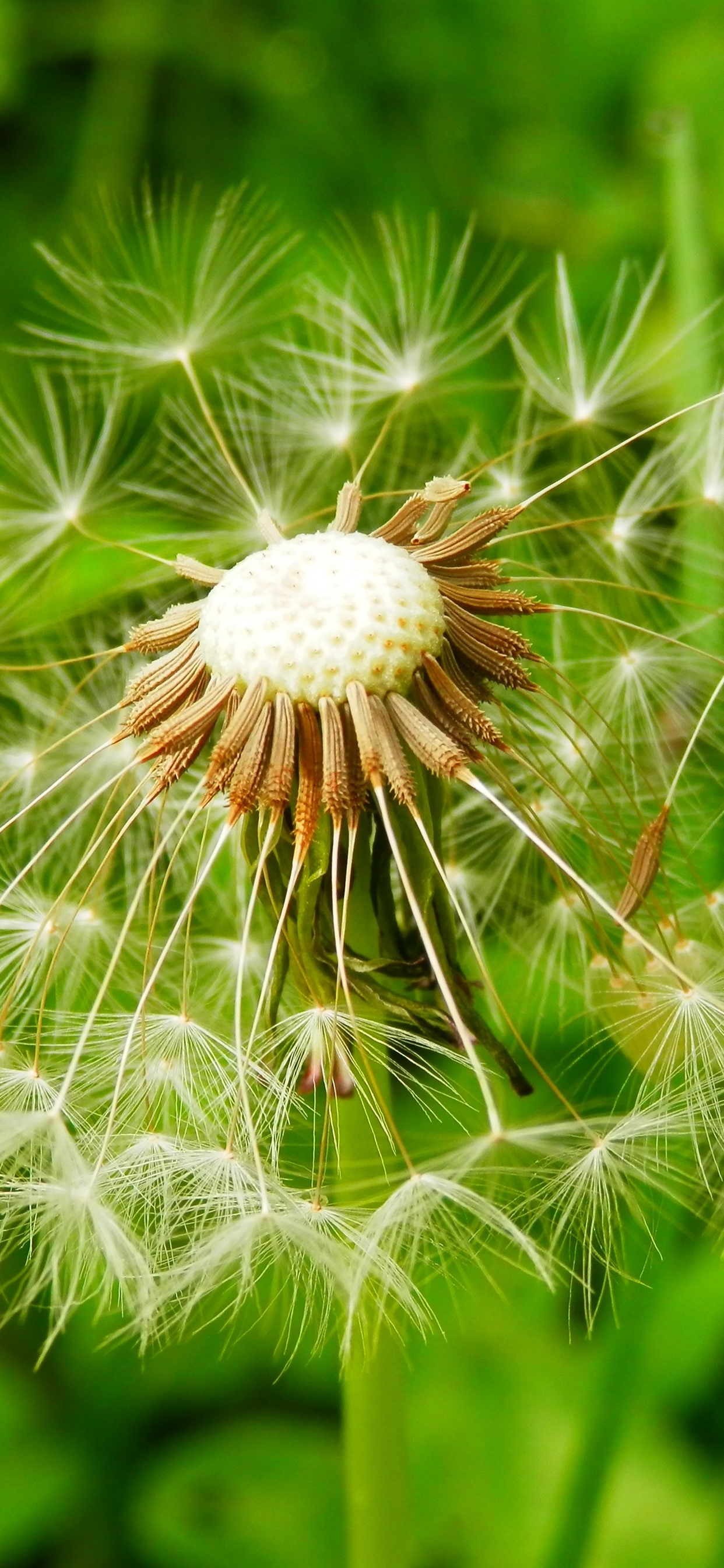 Dandelion Macro Photography Fluff Green Background 1242x2688 Iphone 11 Pro Xs Max Wallpaper Background Picture Image