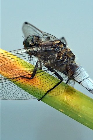 iPhone Wallpaper Dragonfly, insect, grass leaf