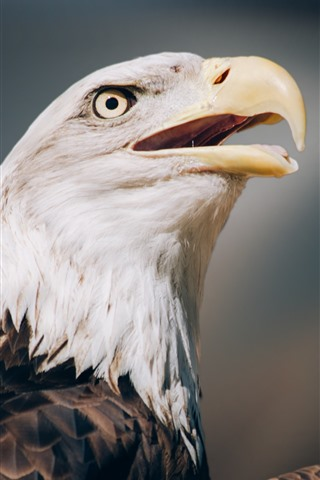 iPhone Wallpaper Eagle close-up, head, eye, beak