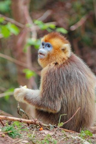 iPhone Wallpaper Golden monkey look back, wildlife