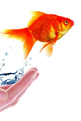iPhone Wallpaper Hand, goldfish, water, white background, creative picture