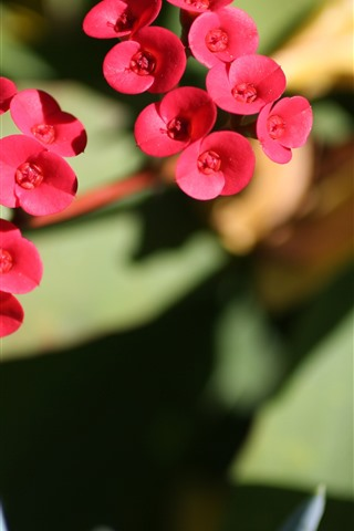 iPhone Wallpaper Little red flowers, stem