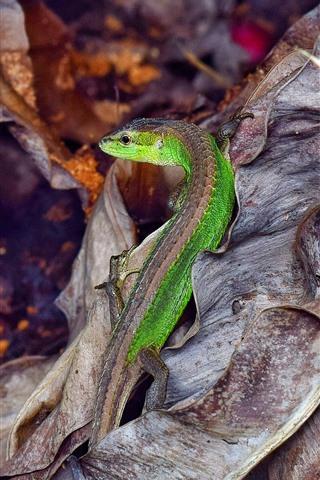 iPhone Wallpaper Lizard, dry leaves