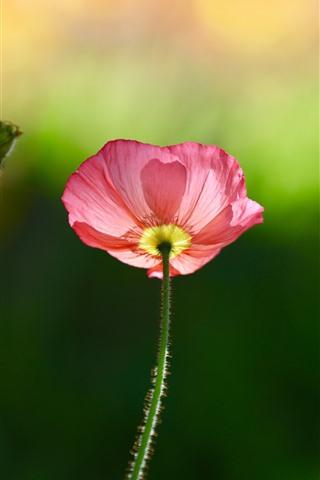 iPhone Wallpaper Pink poppy flower, green background, spring