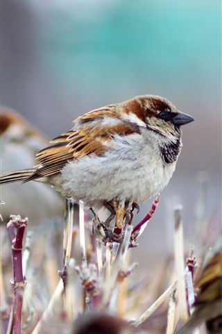 iPhone Wallpaper Some sparrows