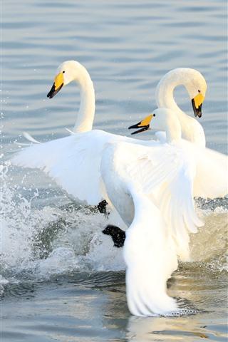 iPhone Wallpaper Three white swans in lake, water splash