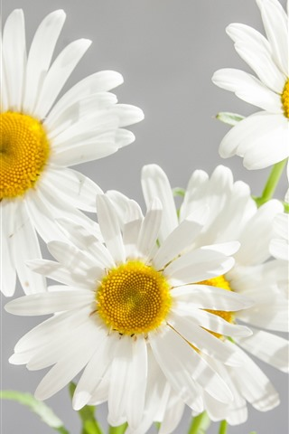 iPhone Wallpaper White daisies, petals, gray background
