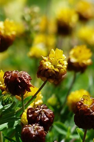 iPhone Wallpaper Wildflowers, yellow flowers, summer